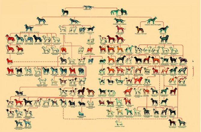 Как определить породу собак и щенков