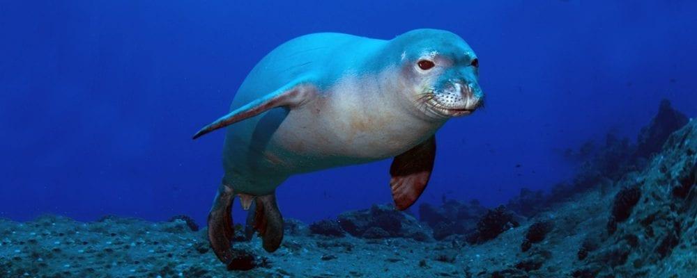 Тюлень монах - виды и фото, где обитают и питание