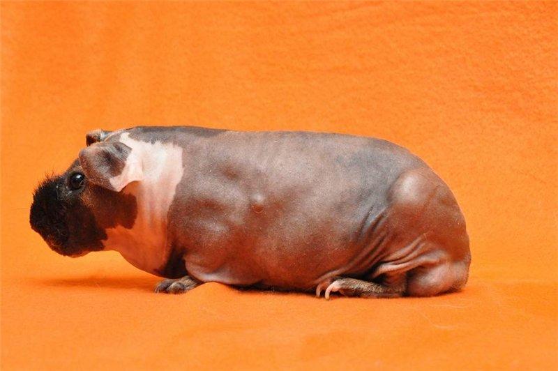 Популярные породы морских свинок – есть ли разница в уходе? фото пород и основных разновидностей морских свинок - автор екатерина данилова - журнал женское мнение