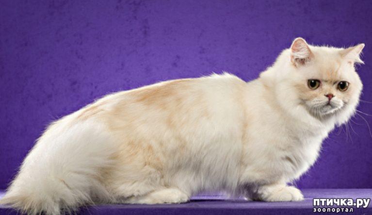 Наполеон или менуэт: описание породы кошек, 25+ фото, цена