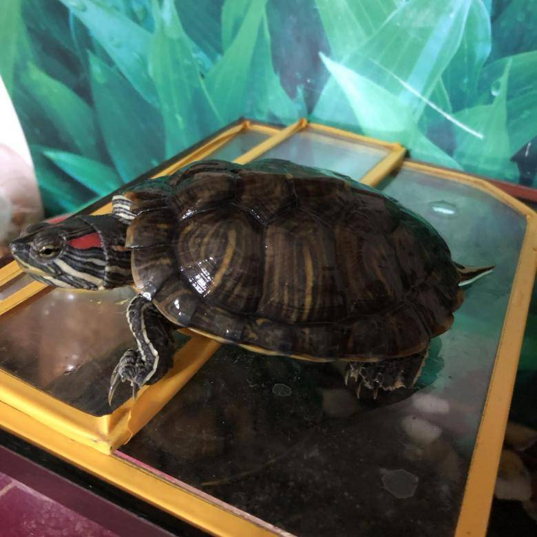 Спячка красноухих черепах