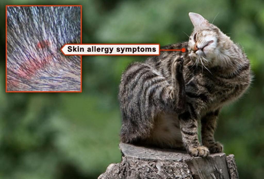 Аллергия на корм у кошек: как проявляется
