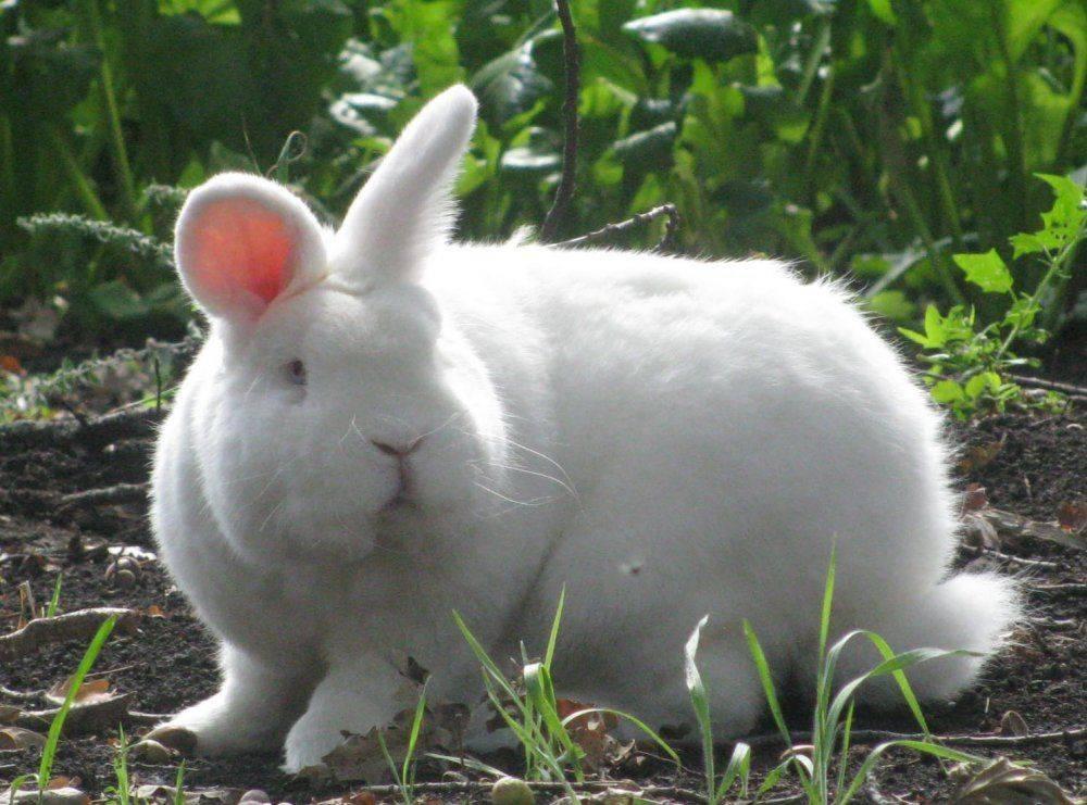 Новозеландский кролик (38 фото): описание породы, характеристика красных, белых и других разновидностей. сколько в среднем весит такой кролик? особенности разведения