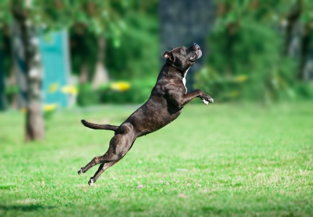 Доминирование над собакой питбуль 1,5-годовалого возраста (видео)