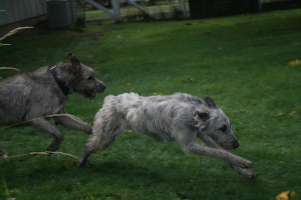 Ирландский волкодав: характеристика породы, описание, фото