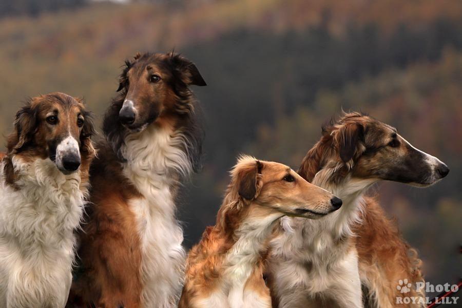 Русская псовая борзая – описание породы, история, стандарты и характер, чем кормить животное?