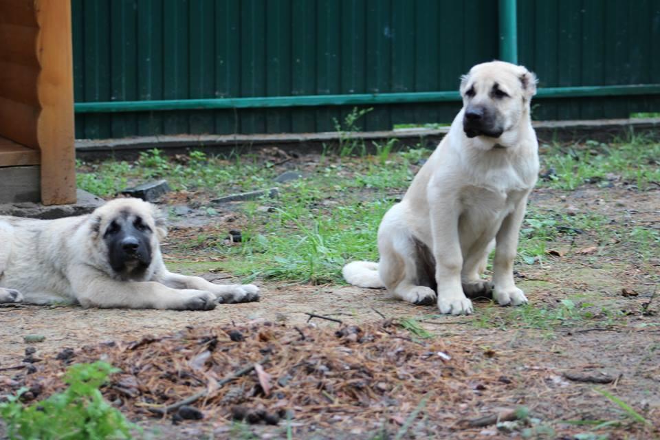 Гампр: стандарт породы, особенности содержания армянского волкодава, характер, выбор щенка, цены, полезные фото и отзывы о собаке