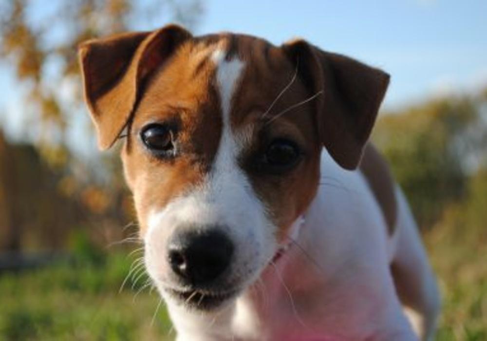 Порода собаки из фильма «маска»: описание, характер, цена