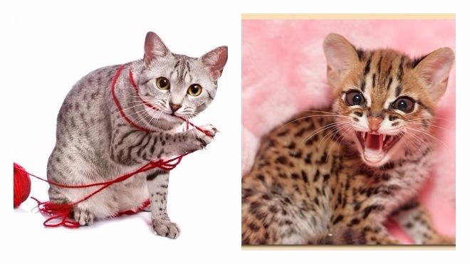 Египетская мау — описание породы, темперамента и повадок кошки от а до я!
