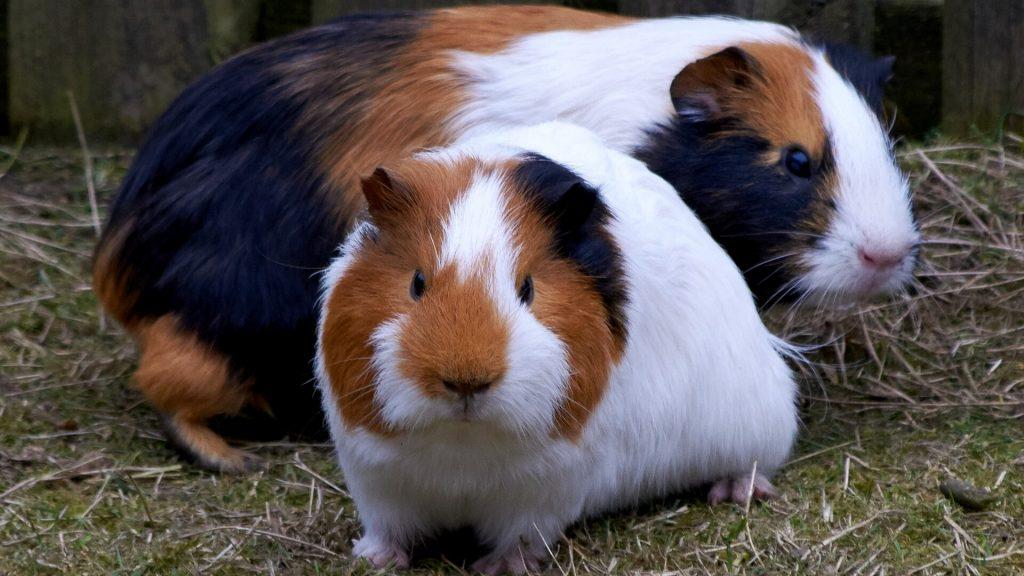 Размножение морских свинок в домашних условиях и как бизнес
