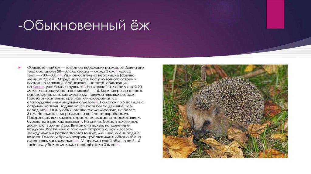 Ежик — описание животного, виды, где живет и чем питается, враги, виды, фото