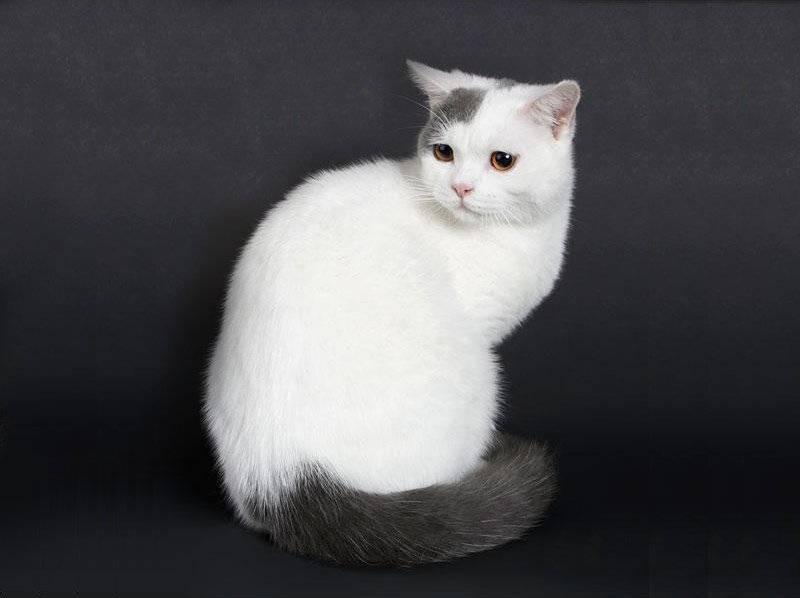 Русская белая кошка