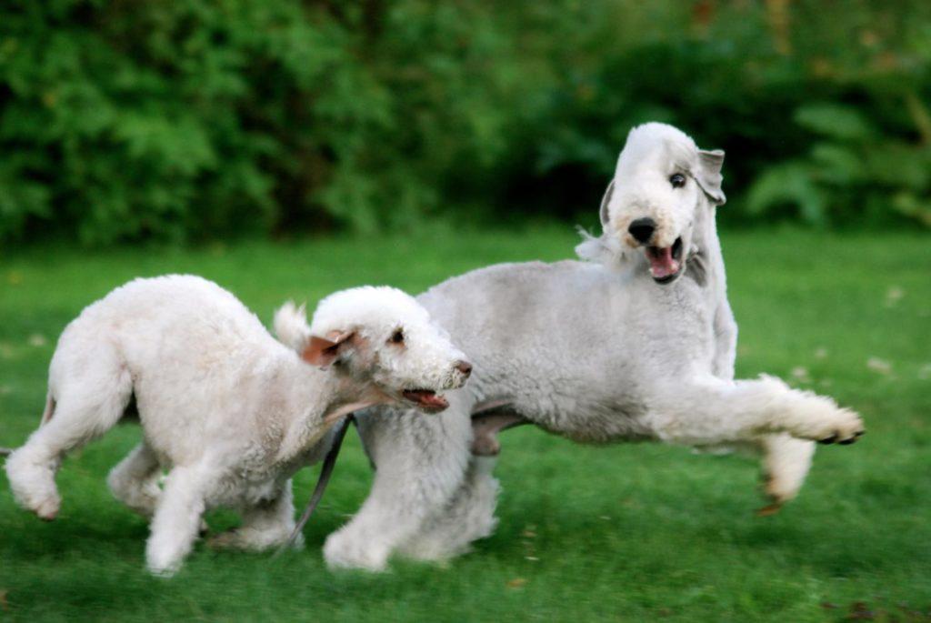 Бедлингтон-терьер ???? фото, описание, характер, факты, плюсы, минусы собаки ✔