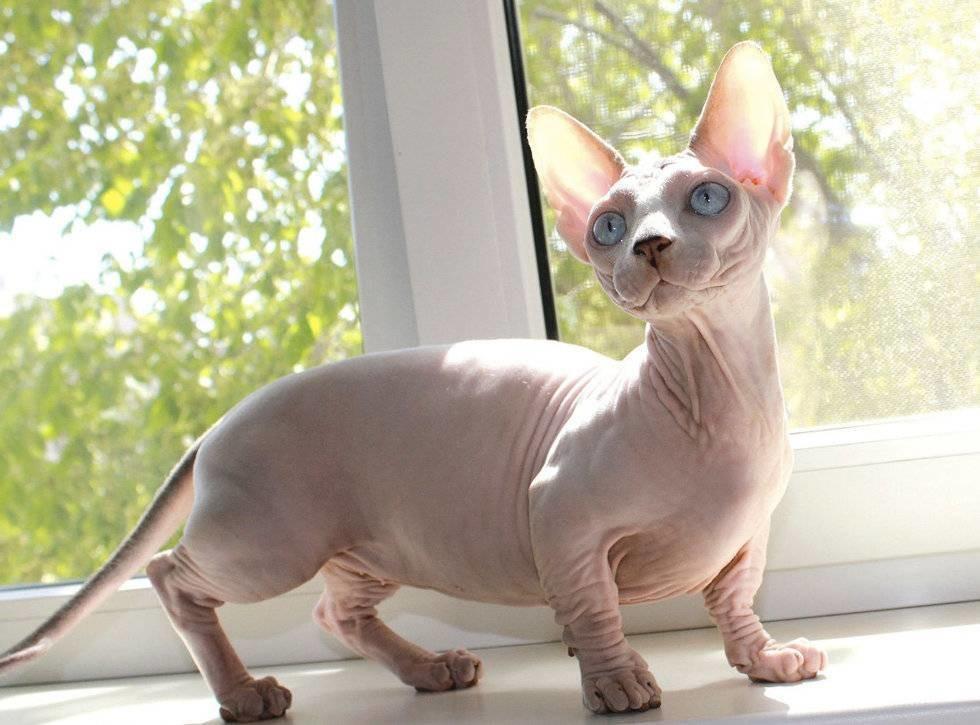 Бамбино — описание пород котов