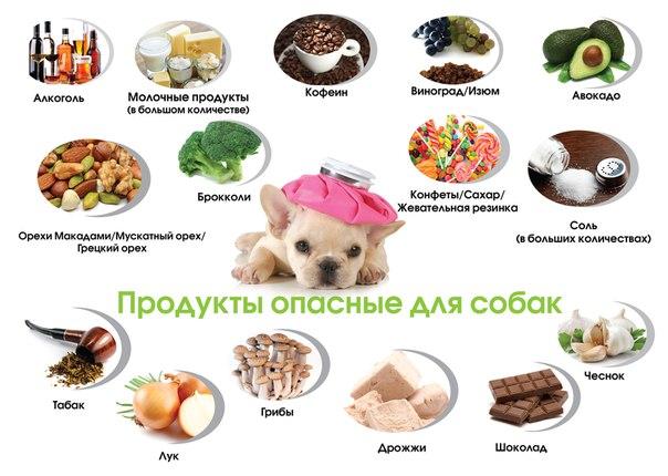 Чем кормить мопса: правила кормления, что любит собака этой породы, чем его можно кормить в домашних условиях