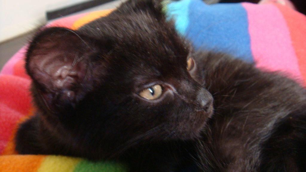 Йоркская шоколадная кошка: фото, описание породы, характер, цены