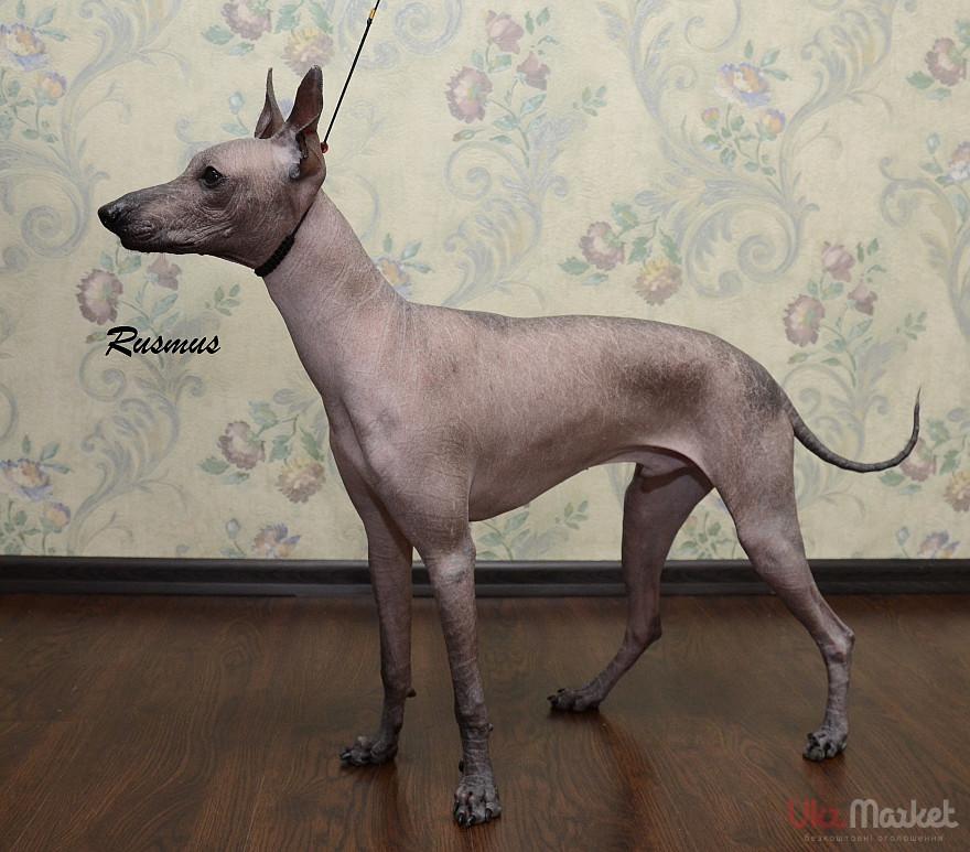 Ксолоитцкуинтли – голая собака из мексики