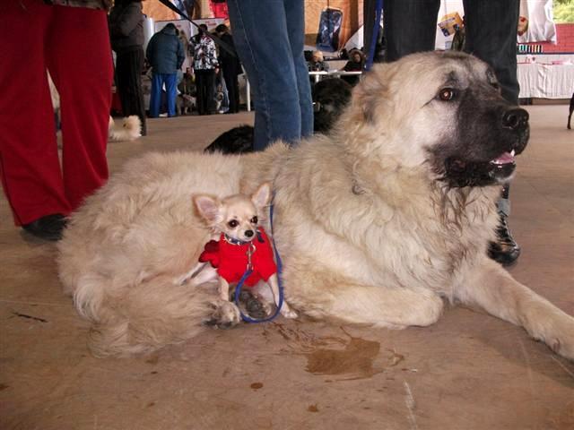 Смелый охранник и пастух – кавказская овчарка