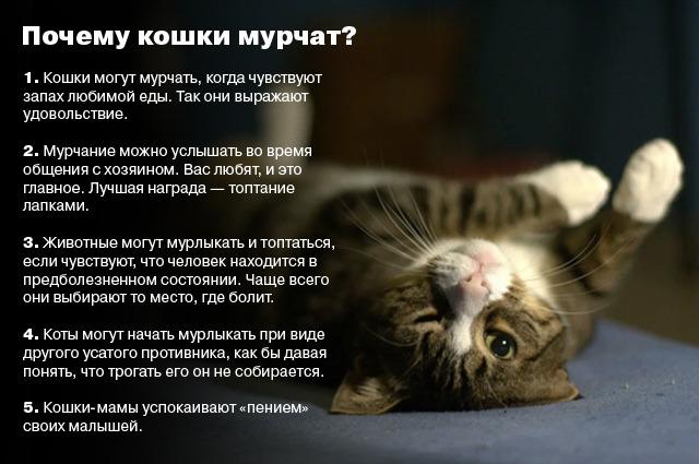 Коты мурчат: почему это происходит и что означает мурчание