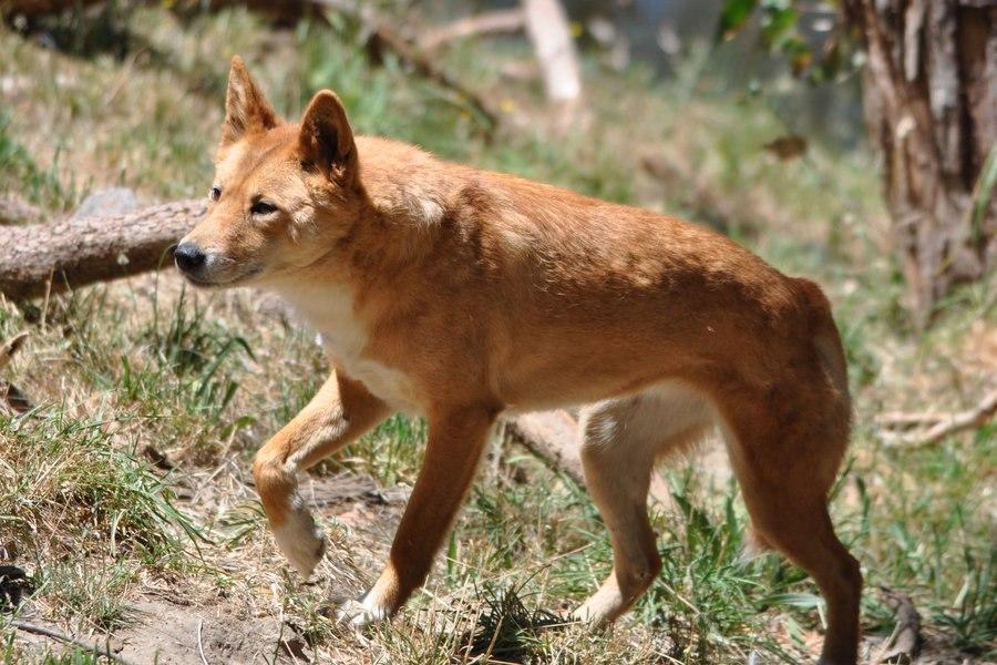 Австралийский хилер собака. описание, особенности, уход и цена австралийского хилера | животный мир