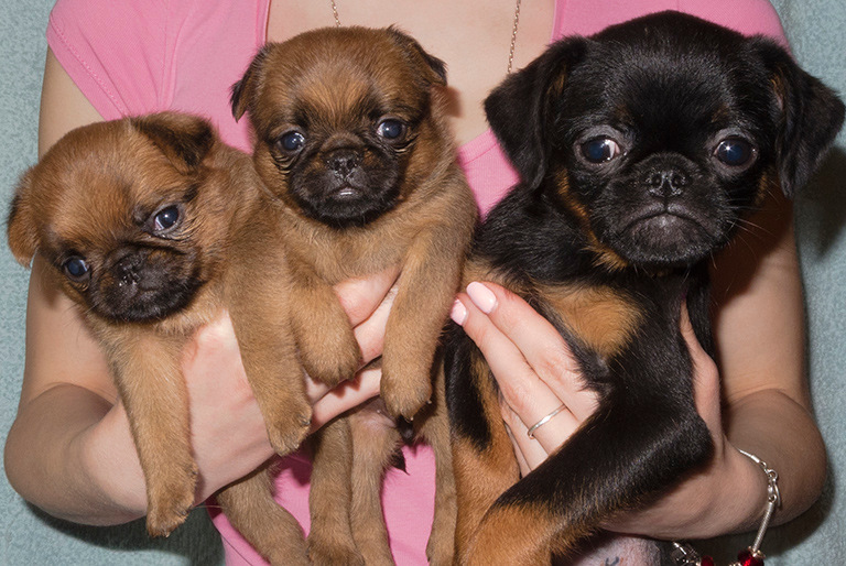 Пти-брабансон: описание породы, все о собаке, фото, здоровье