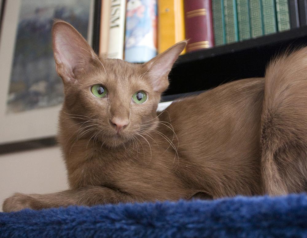 Яванская кошка (31 фото): описание породы яванез, характер короткошерстной кошки. варианты окраса. условия содержания