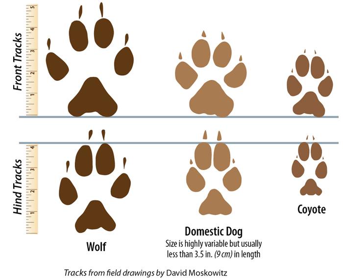 Cледы волка на снегу - фото следов волка и как их читать
