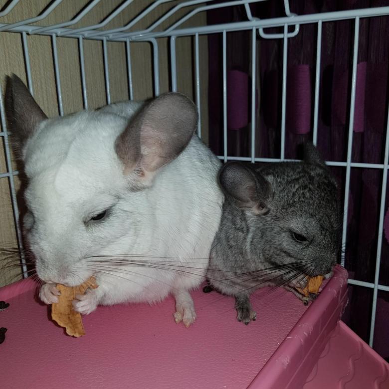 Сколько стоит крыса — от чего зависит цена, примерные цены на разные породы