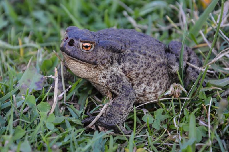 Серая жаба (обыкновенная): как выглядит, где обитает, чем питается и интересные факты (фото)