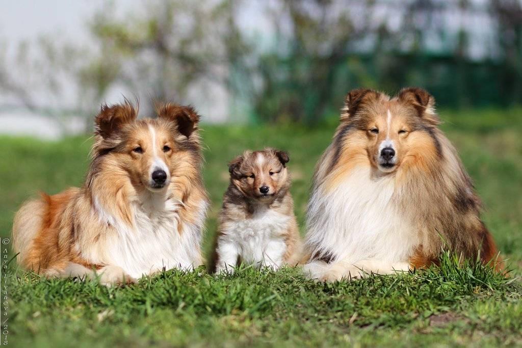 Основные сведения о колли: разновидности шотландской овчарки, характеристики