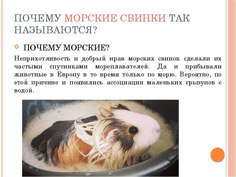 """Глазные заболевания у морских свинок, виды, симптомы и лечение   блог ветклиники """"беланта"""""""