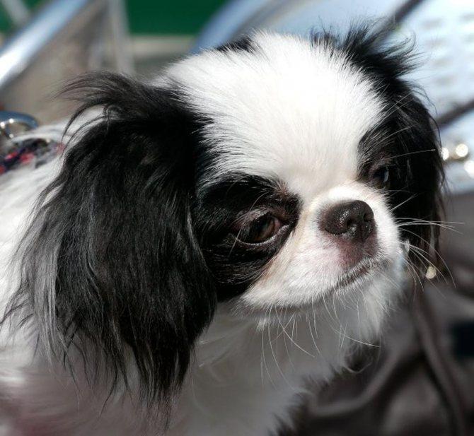 Японский хин - порода собак
