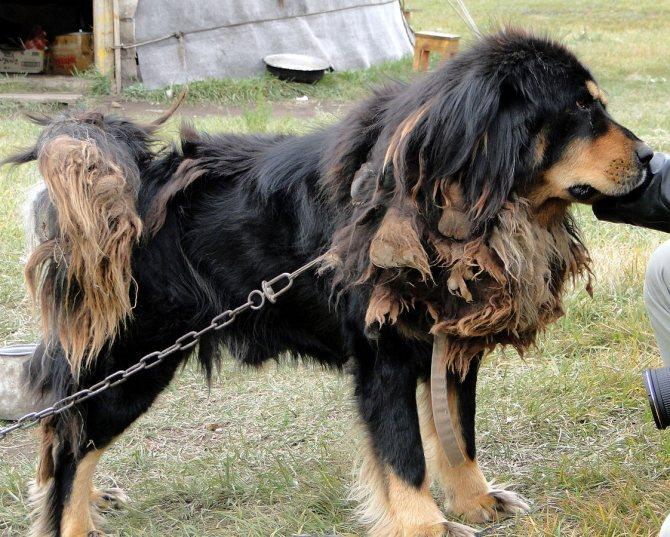 Монгольская овчарка банхар