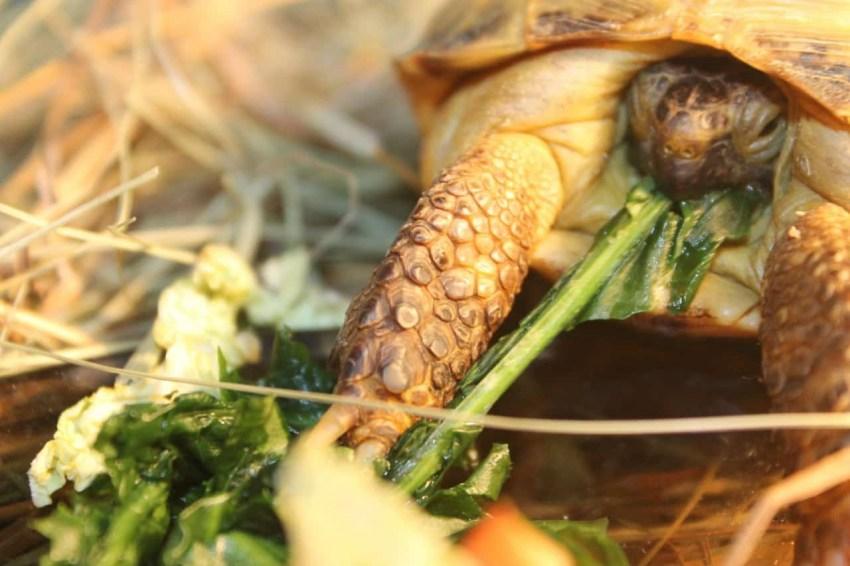 Может ли черепаха есть огурец? - энциклопедия википедия?