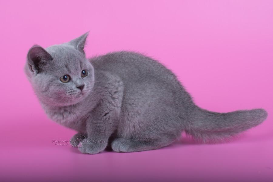 Черные британские кошки (32 фото): описание котов окраса черный дым, особенности характера кошек британской породы. как назвать котенка?