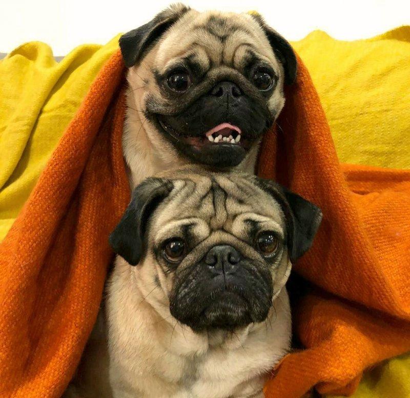 Мопс — фото собаки, описание породы, характер