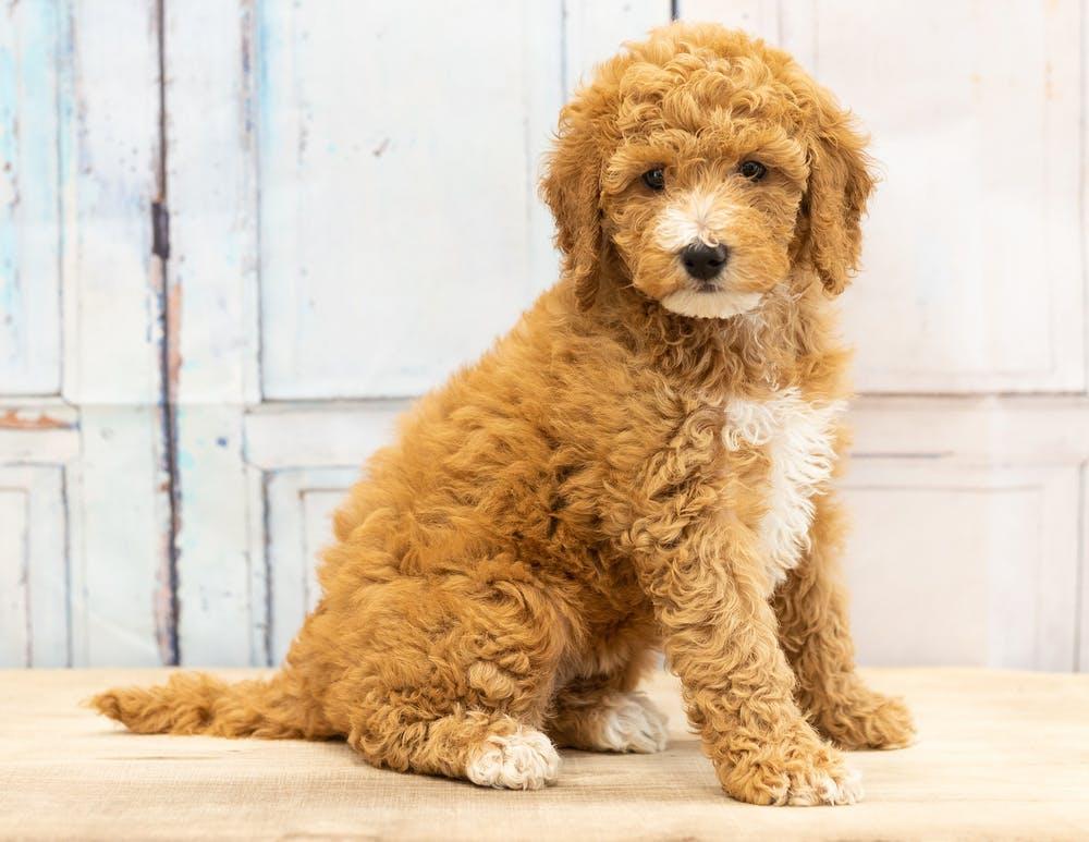 Что за порода собаки маленькая кудрявая коричневая