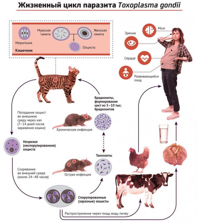 Чем можно заразиться от кошки: болезни, передающиеся человеку, их симптомы, опасность и предупреждение