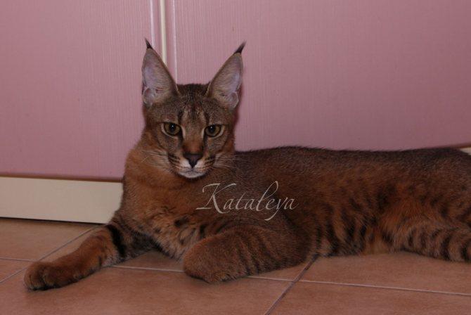 Кошки, похожие на рысь: фото и список пород