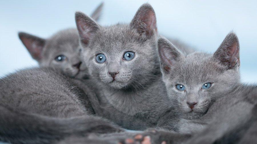 Русская голубая кошка фото, описание и характер породы, цена котят, отзывы