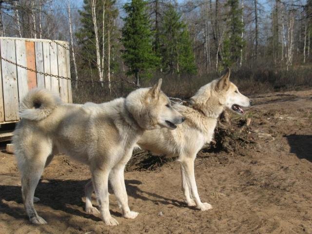 Западносибирская лайка: описание породы, характеристика, выбор щенка
