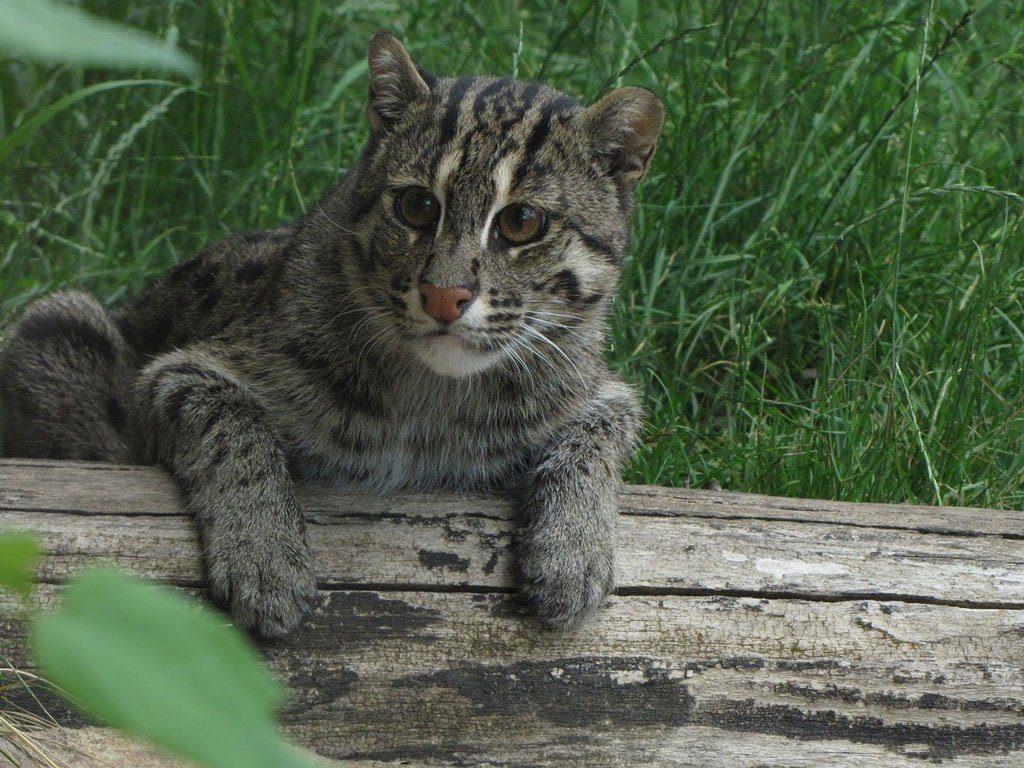 Как эта небольшая дикая кошка ловит рыбу на обед?