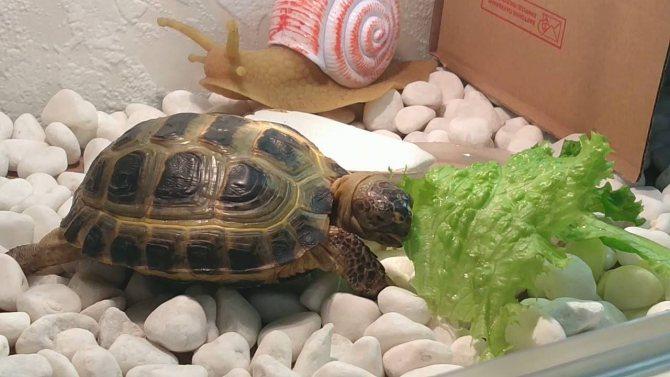 Чем кормить черепаху? составляем правильный рацион