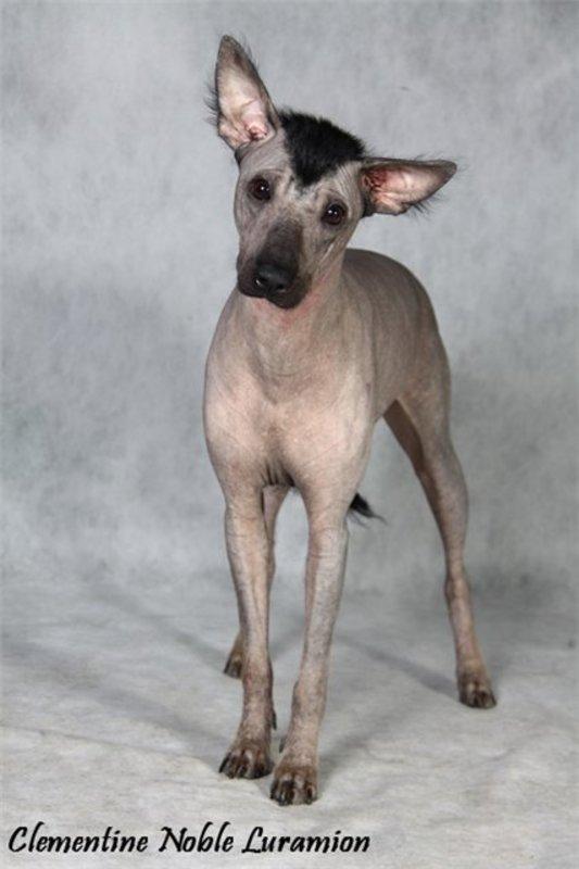 Описание породы перуанская голая собака: характер, уход, предназначение