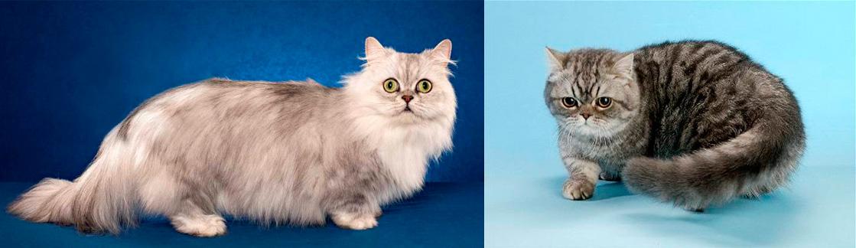 ᐉ наполеон (менуэт) - описание пород котов - ➡ motildazoo.ru