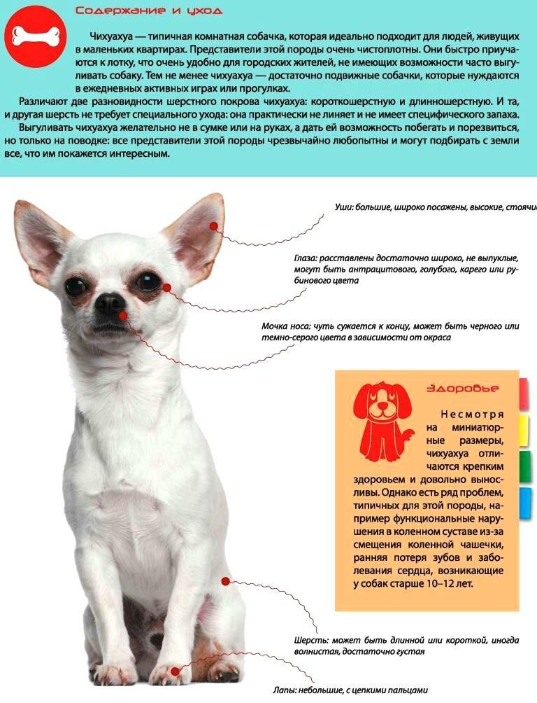 Чем кормить чихуахуа в домашних условиях: что едят собаки этой породы, как правильно организовать питание, можно ли давать сухие продукты?