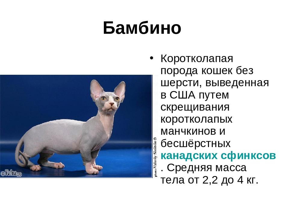 Бамбино (33 фото): описание характера кошек. чем кормить котов породы бамбино? особенности разведения