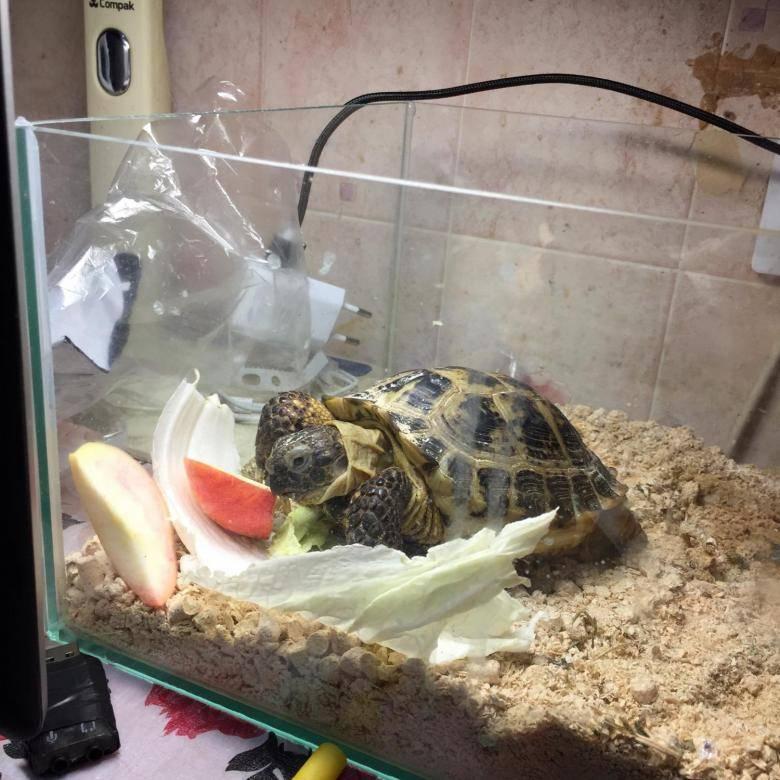 Сухопутная черепаха – как ухаживать и чем кормить в домашних условиях?