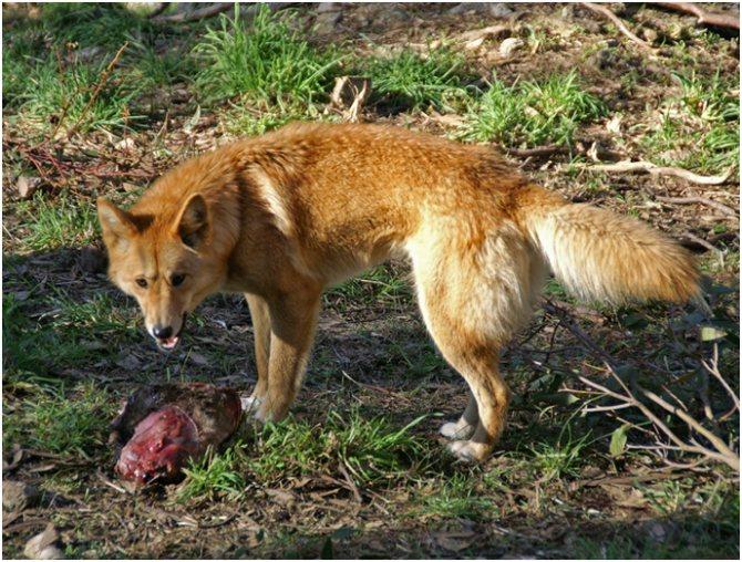 Собака динго в природной среде и дома — рассмотрим суть