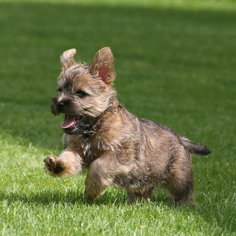 Керн терьер собака. описание, особенности, уход и цена керн терьера | sobakagav.ru